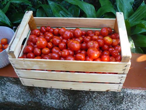 scolatura dei pomodori