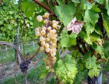 un grappolo d'uva in primo piano