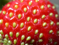 primo piano di una fragola rossa
