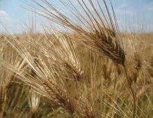 un campo di grano