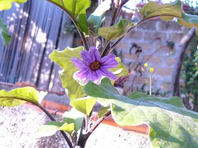 il fiore di melanzana