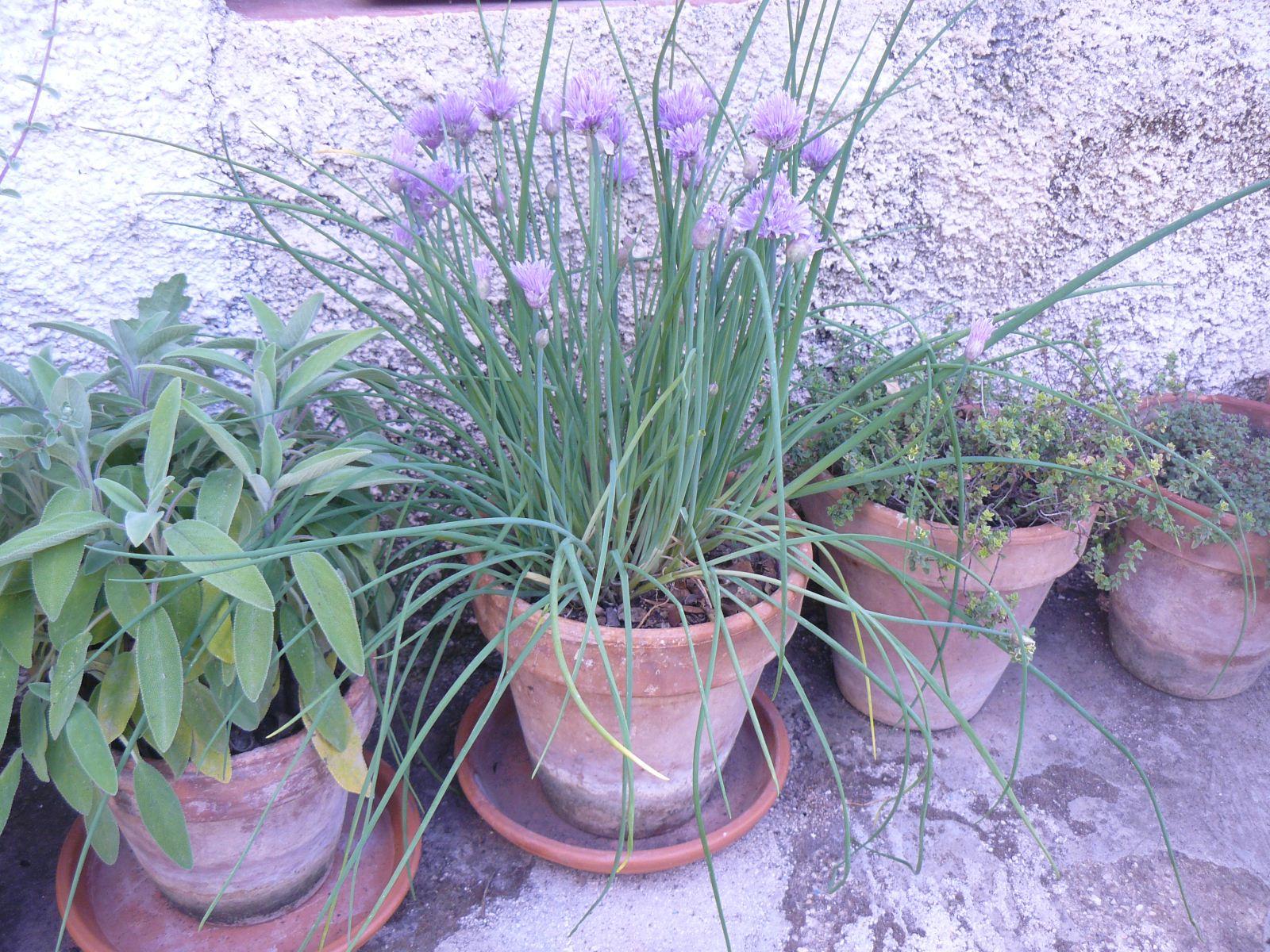 Quattro piante aromatiche in vaso