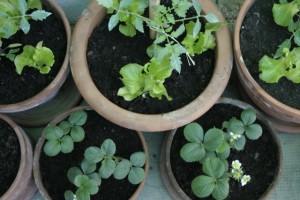 vasi di ortaggi sul balcone