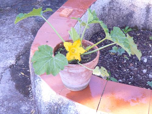Una pianta di zucchina in un vaso