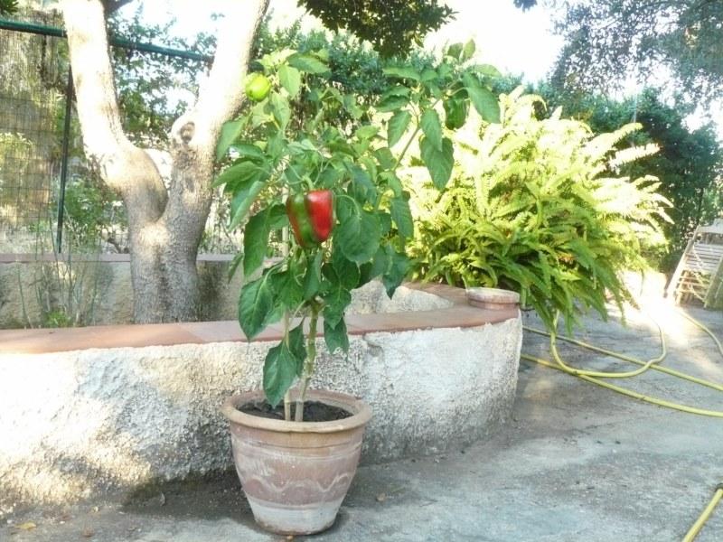 vaso con pianta di peperone