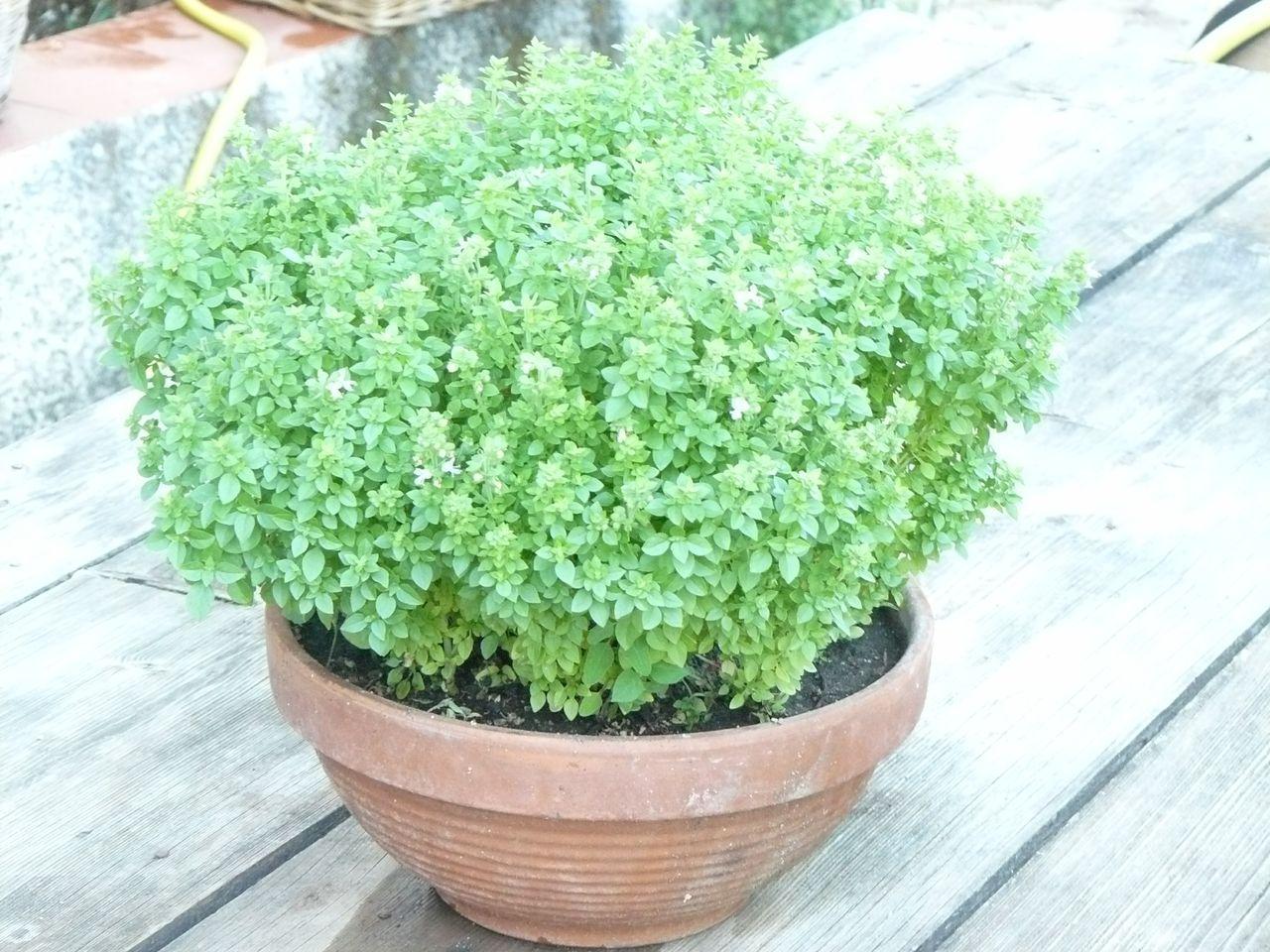 pianta aromatica in vaso