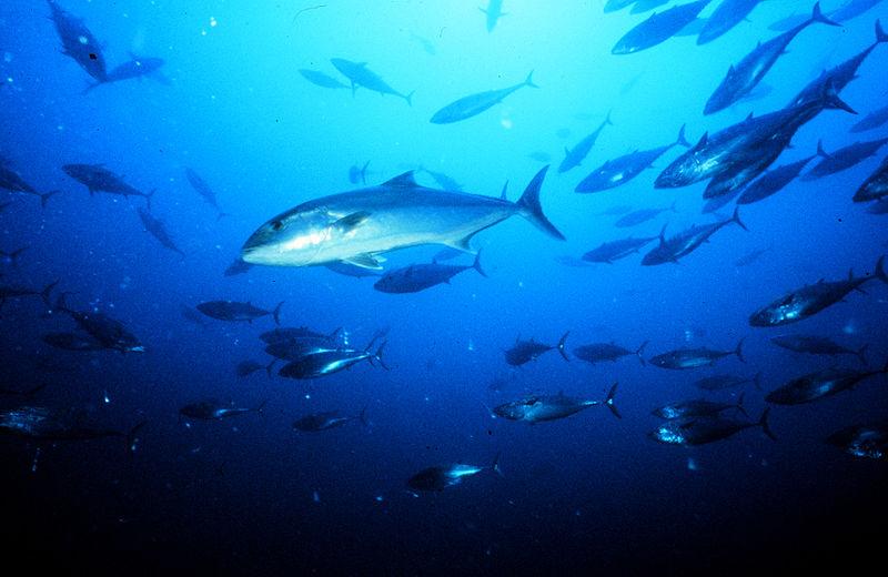 Ricciola in mare (foto di wikimedia)
