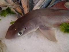 un pesce palombo
