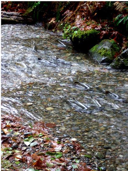 La risalita dei salmoni nel fiume