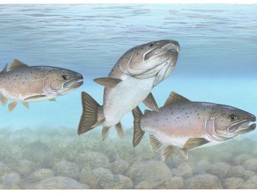 Tre salmoni dell'atlantico