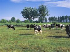 mucche al pascolo nel lodigiano
