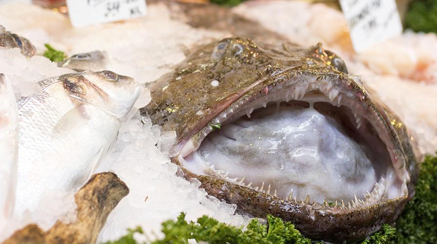 rana-pescatrice