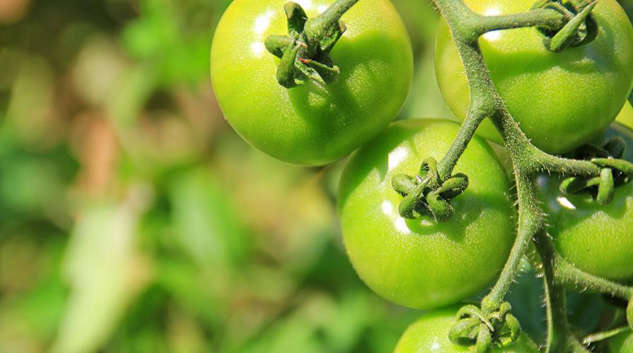 marmellata-di-pomodori-verdi