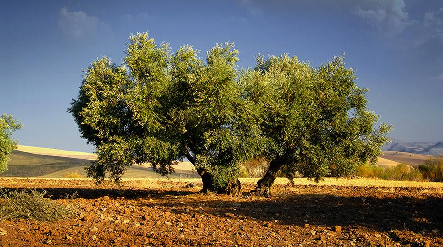 nomi per l'olio d'oliva