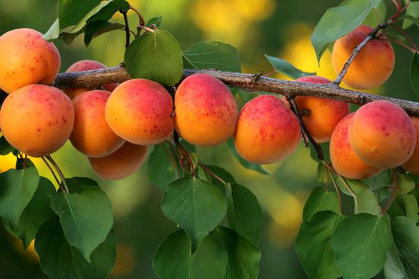albicocche varietà
