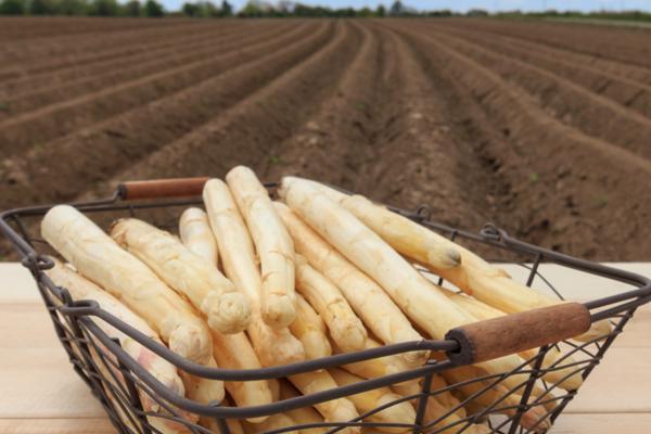 coltivazione asparago bianco