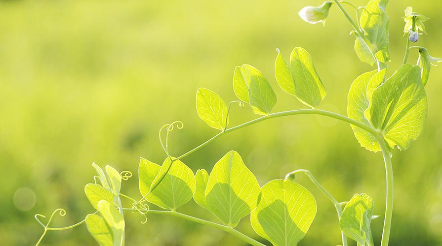 coltiva-anche-tu-i-piselli-in-vaso