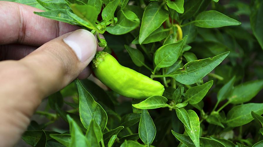 coltivare-il-peperone-e-il-peperoncino