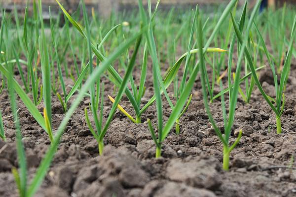 coltivazione aglio voghiera