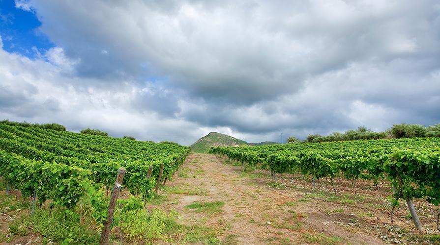 vitigni autoctoni siciliani