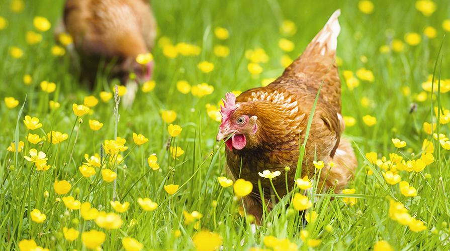 quando-le-galline-erano-grosse-piumose-e-altere