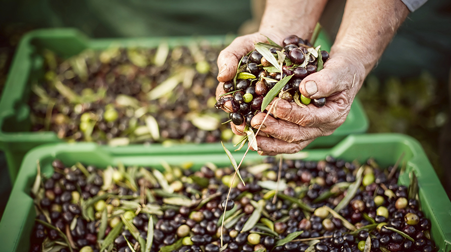 raccolta-delle-olive