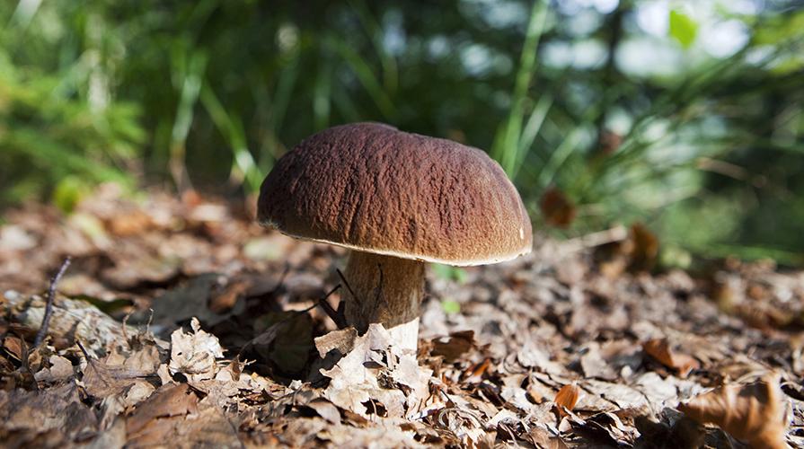 a-caccia-di-funghi-porcini