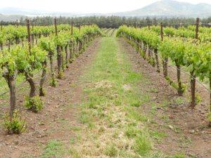 produzione di vino Kosher