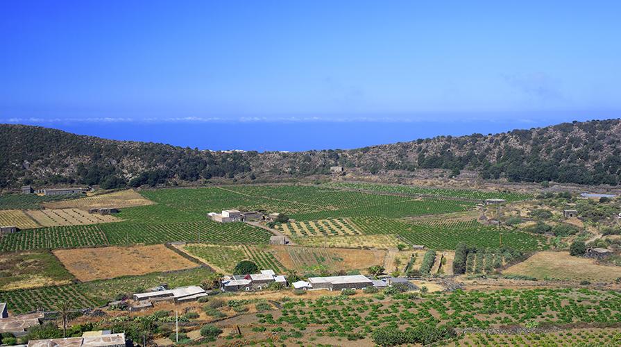 Pantelleria alberelli