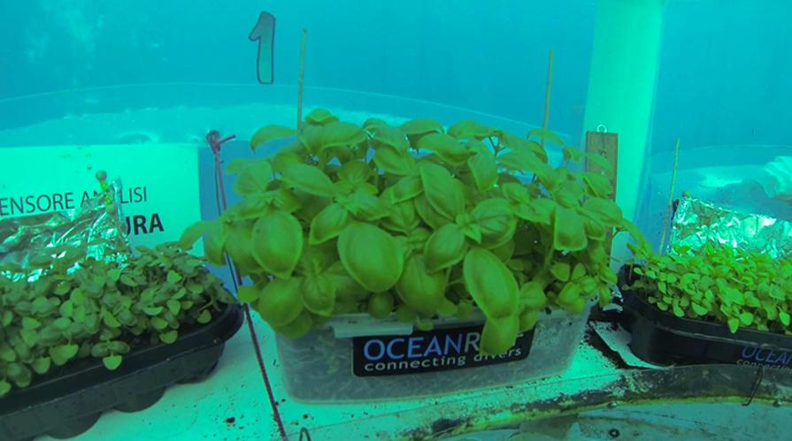 coltivazione di basilico sott'acqua