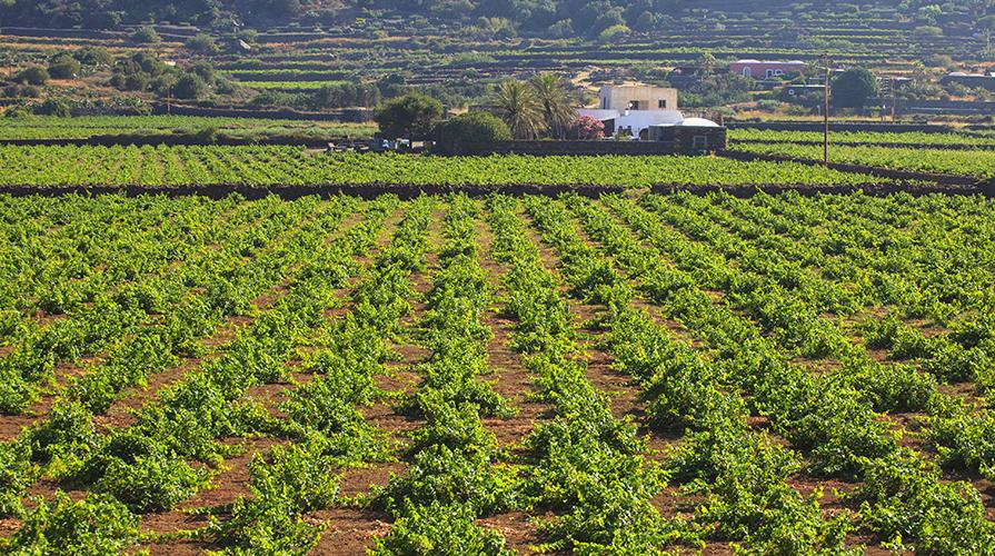 zibibbo di Pantelleria alberelli