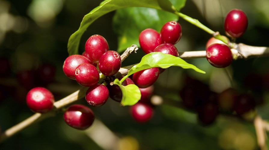 caffè pianta