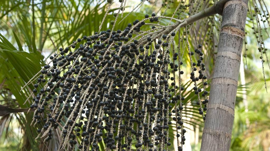 pianta di Açai