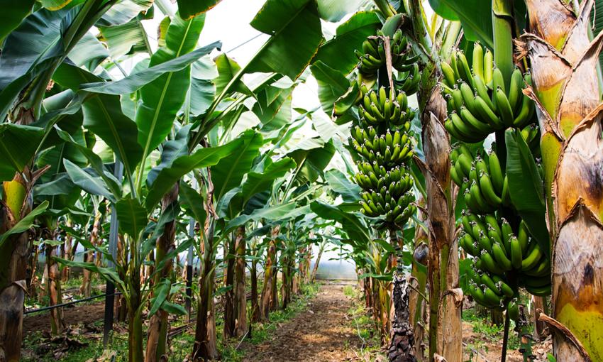 seta di banana