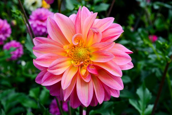 fiore commestibile dalia