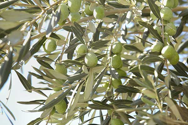 Xylella Fastidiosa e olio italiano