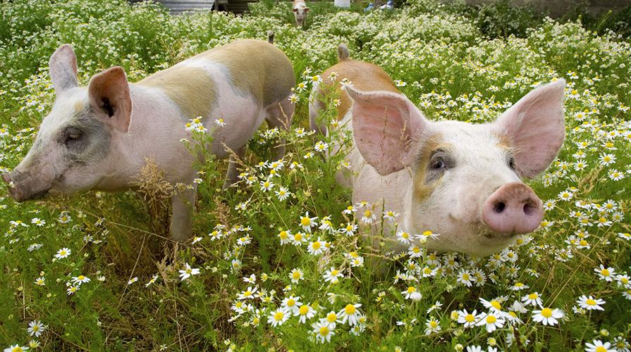 Allevamento di maiali