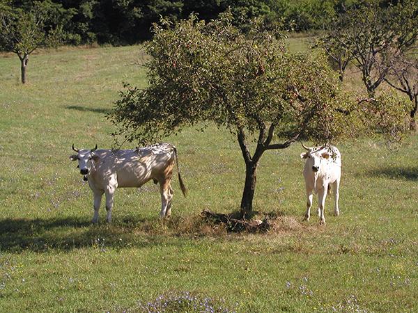 Chianina Toscana