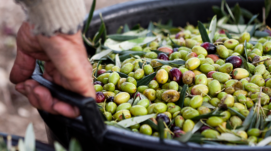 Olive Pugliesi