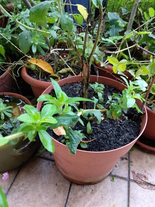 pianta di stevia in vaso