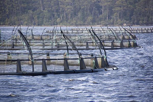 Allevamenti Salmone