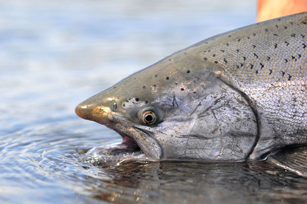 Salmone Reale