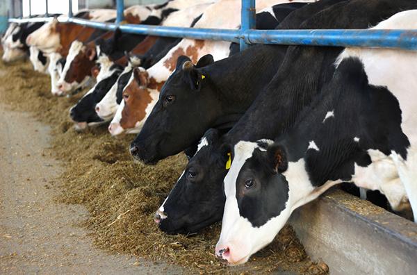 Mucche allevamenti intensivi