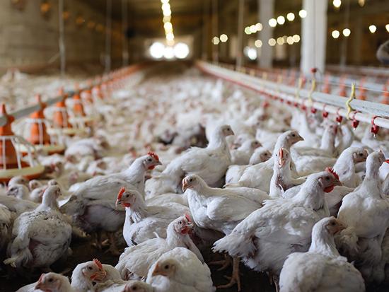 Polli allevamenti intensivi