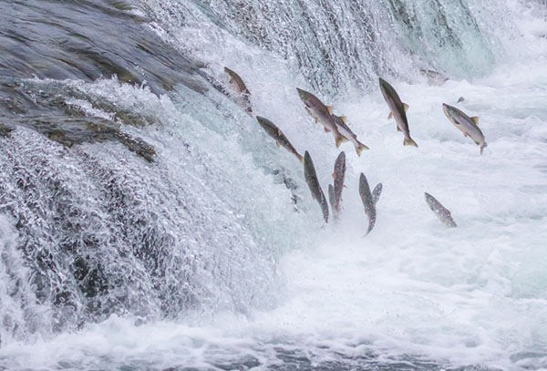 Salmone Selvaggio