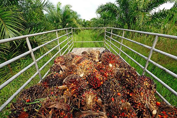 Olio di palma deforestazione