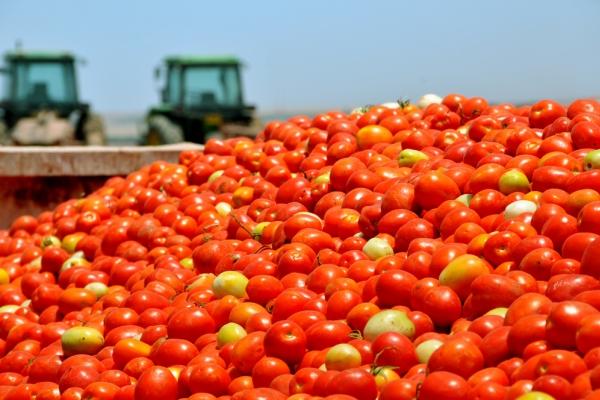 campo pomodori