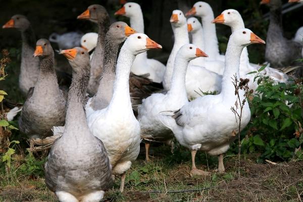 foie gras oche