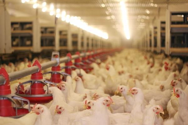 tipi di allevamento polli