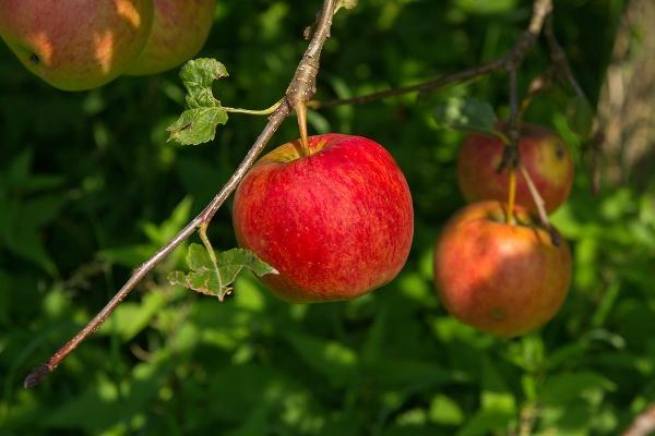 mela albero